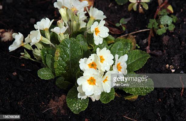 Primroses flower in a garden in the village of Priston on December 30 2011 near Bath England The recent unseasonably warm weather has led to...
