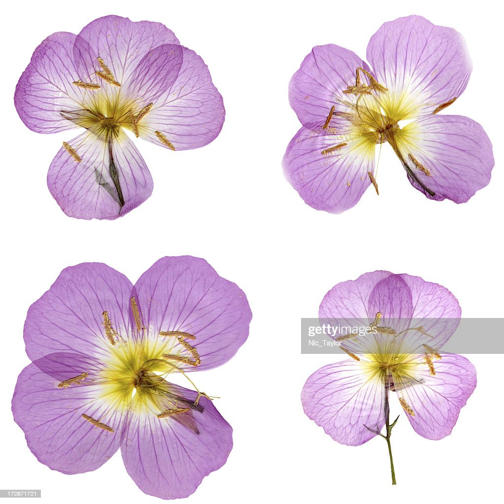 Primroses Isolated on White XXXL