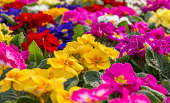 Central focus on a group of brightly colored Primroses