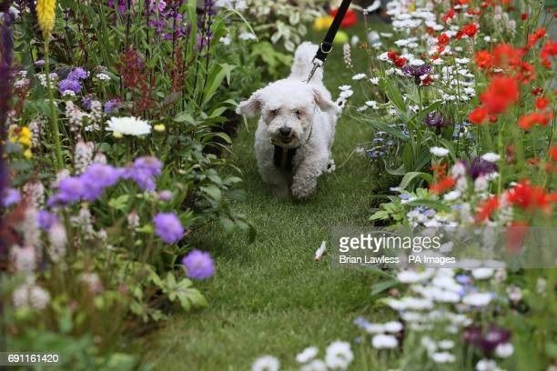 Prince a bichon frise in the Dogs Trust's garden at the Bloom festival in Dublin's Phoenix Park