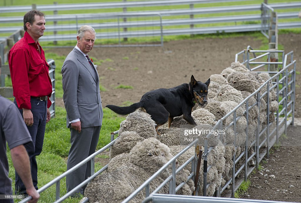<a gi-track='captionPersonalityLinkClicked' href=/galleries/search?phrase=Prince+Charles&family=editorial&specificpeople=160180 ng-click='$event.stopPropagation()'>Prince Charles</a>, Prince of Wales watches a sheep dog running along the back of sheep with farm manager Brent Thornbury, during a visit to the Leenavale Sheep Stud at Sorell, some 20kms east of Hobart, on November 8, 2012 in Australia. The Royal couple are in Australia on the second leg of a Diamond Jubilee Tour taking in Papua New Guinea, Australia and New Zealand.
