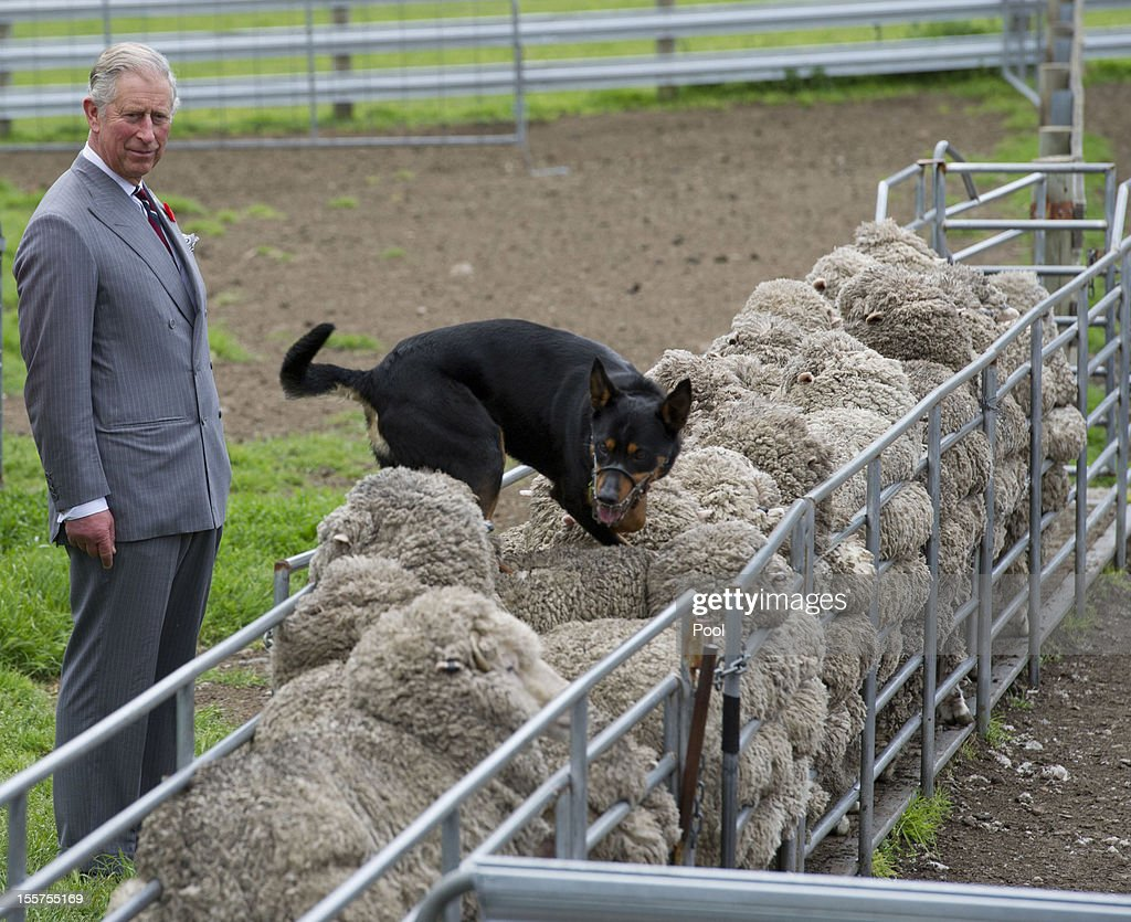 <a gi-track='captionPersonalityLinkClicked' href=/galleries/search?phrase=Prince+Charles&family=editorial&specificpeople=160180 ng-click='$event.stopPropagation()'>Prince Charles</a>, Prince of Wales watches a sheep dog running along the back of sheep during a visit to the Leenavale Sheep Stud at Sorell, some 20kms east of Hobart, on November 8, 2012 in Australia. The Royal couple are in Australia on the second leg of a Diamond Jubilee Tour taking in Papua New Guinea, Australia and New Zealand.
