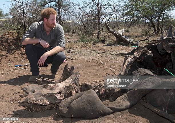 Prince Harry is shown the carcass of a rhino slaughtered for its horn in Kruger National Park during an official visit to Africa on December 2 2015...