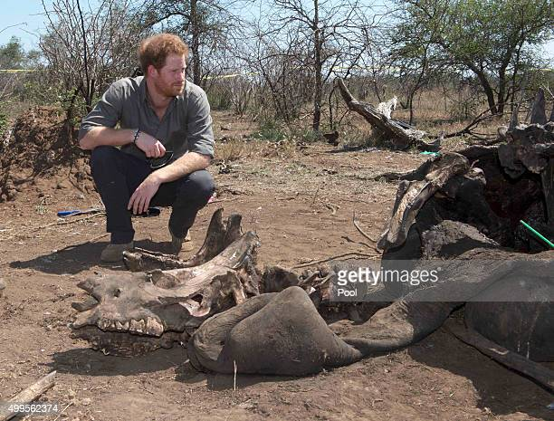 Prince Harry looks at the carcass of a rhino which was killed by poachers in Kruger National Park on the fifth day of an official visit to Africa on...