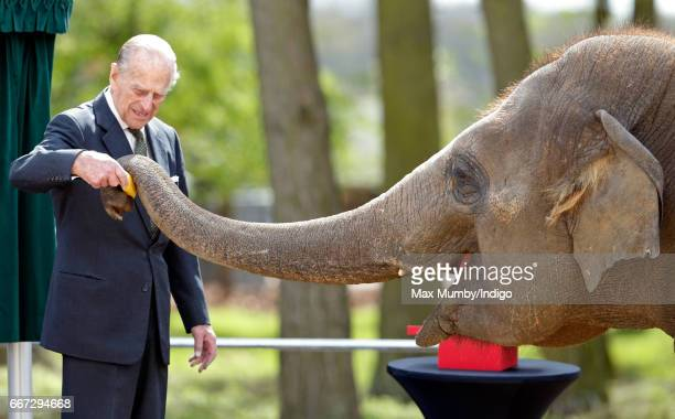 Prince Philip Duke of Edinburgh feeds a banana to Donna a 7 year old Asian Elephant as they open the new Centre for Elephant Care at ZSL Whipsnade...