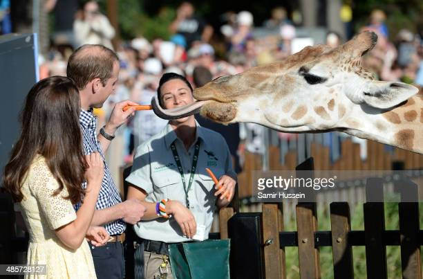 Prince William Duke of Cambridge and Catherine Duchess of Cambridge feed a giraffe as they isit the Bilby Enclosure at Taronga Zoo on April 20 2014...