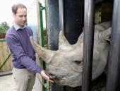 Prince William Duke of Cambridge Duke of Cambridge feeds a black rhino called Zawadi as he visits Port Lympne Wild Animal Park on June 6 2012 in Port...