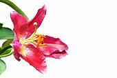 It is a kind of lily flower