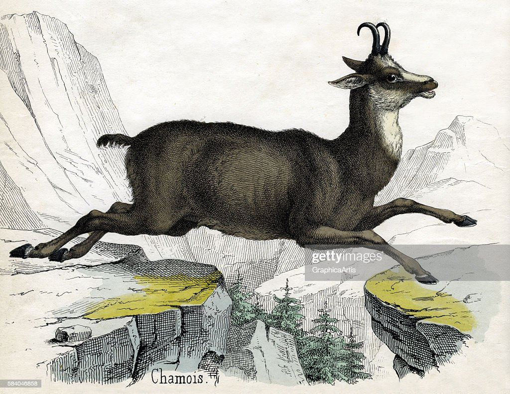 Print of a Chamois jumping in the Alps from the illustrated book The Natural History of Animals 1859 Handcolored engraving
