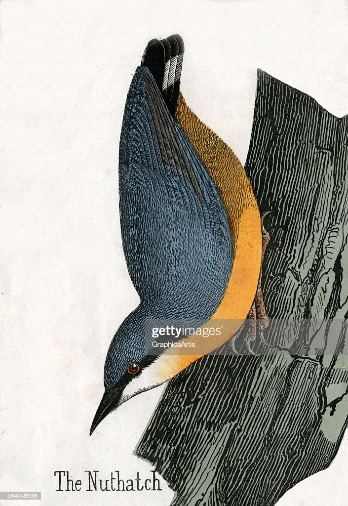 Print of a Eurasian nuthatch from the illustrated book The Natural History of Animals 1859 Handcolored engraving