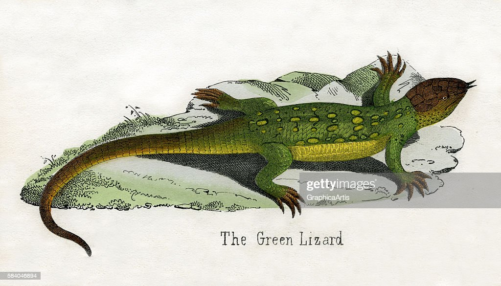 Print of a European green lizard from the illustrated book The Natural History of Animals 1859 Handcolored engraving