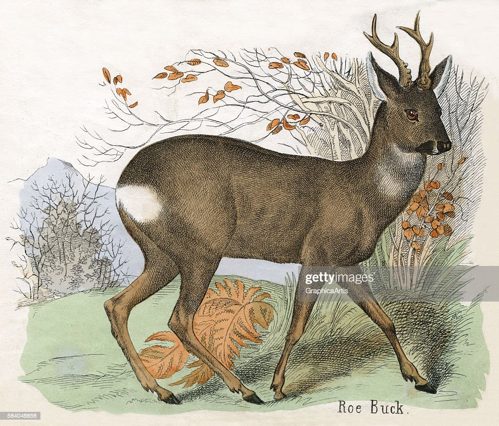 Print of a European roe deer buck from the illustrated book The Natural History of Animals 1859 Handcolored engraving
