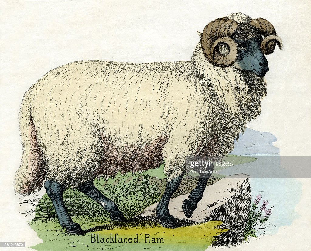 Print of a male Norfolk Horn sheep from the illustrated book The Natural History of Animals 1859 Handcolored engraving