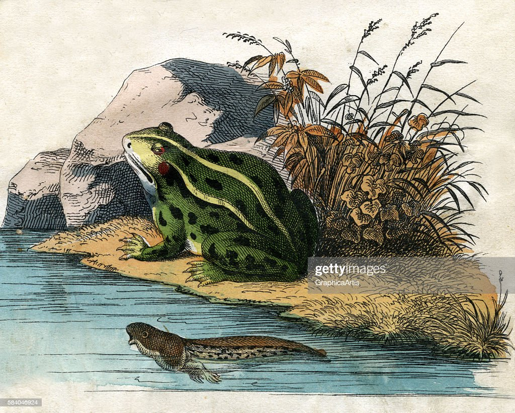 Print of a pool frog and tadpole from the illustrated book The Natural History of Animals 1859 Handcolored engraving