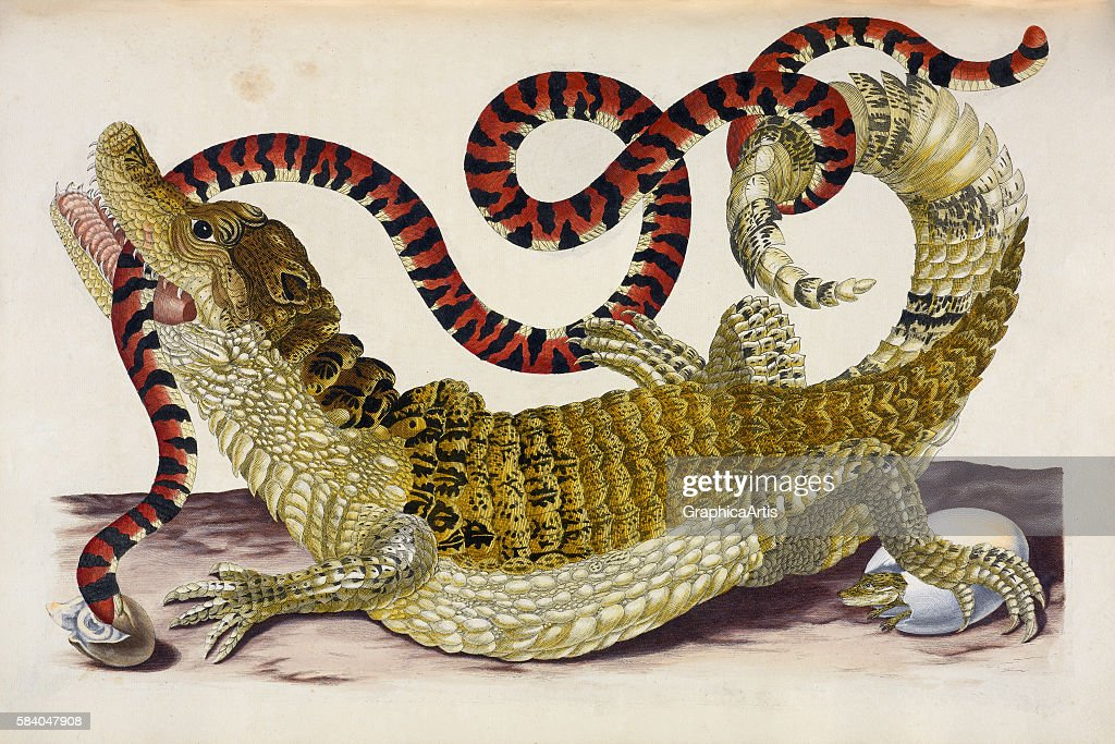 Print of a Surinam Caiman biting a South American false coral snake to protect her young hatchlings 1719 Print is from 'Metamorphosis insectorum...