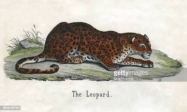 Print of an African leopard from the illustrated book The Natural History of Animals 1859 Handcolored engraving
