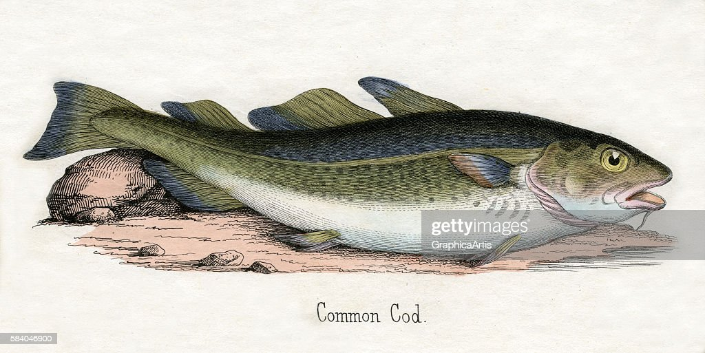 Print of an Atlantic cod from the illustrated book The Natural History of Animals 1859 Handcolored engraving