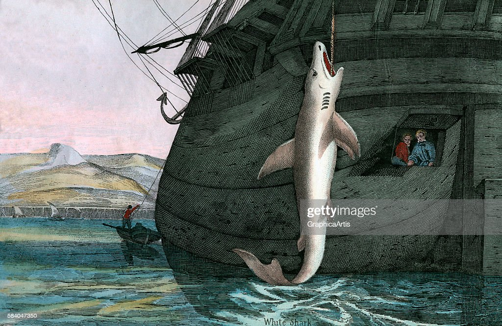Print of of a great white shark caught at sea from the illustrated book The Natural History of Animals 1859 Handcolored engraving