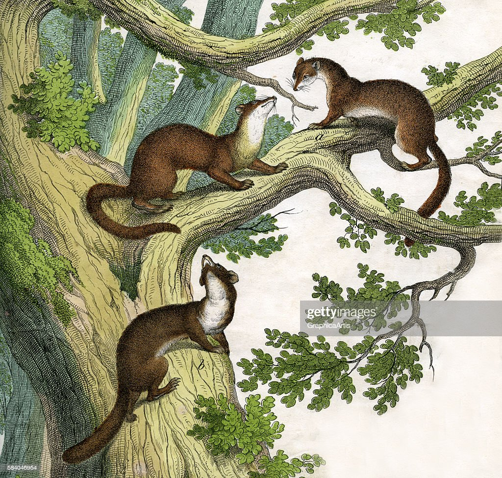 Print of two yellowthroated martens and a European pine marten from the illustrated book The Natural History of Animals 1859 Handcolored engraving