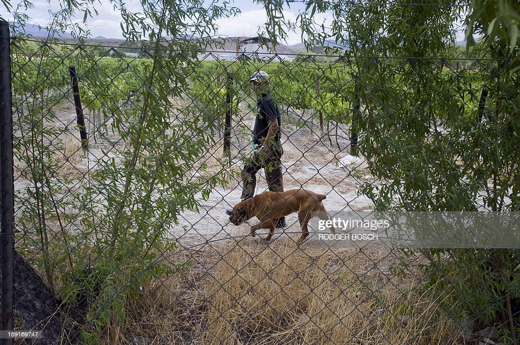 A private security guard walks with a dog on a grape farm after violent clashes broke out between farm workers and anti-riot police forces on January 9, 2013 in de Doorns, a small farming town about 140km north of Cape Town, South Africa. Workers on fruit farms have downed tools, demanding a wage hike from 69 rand ($8) to 150 rand ($17.50) a day. The protesters also occupied part of the country's major N1 highway, forcing dozens of police officers and two armoured vehicles to move down the road, pushing the protesters back from the town entrance. AFP PHOTO / RODGER BOSCH