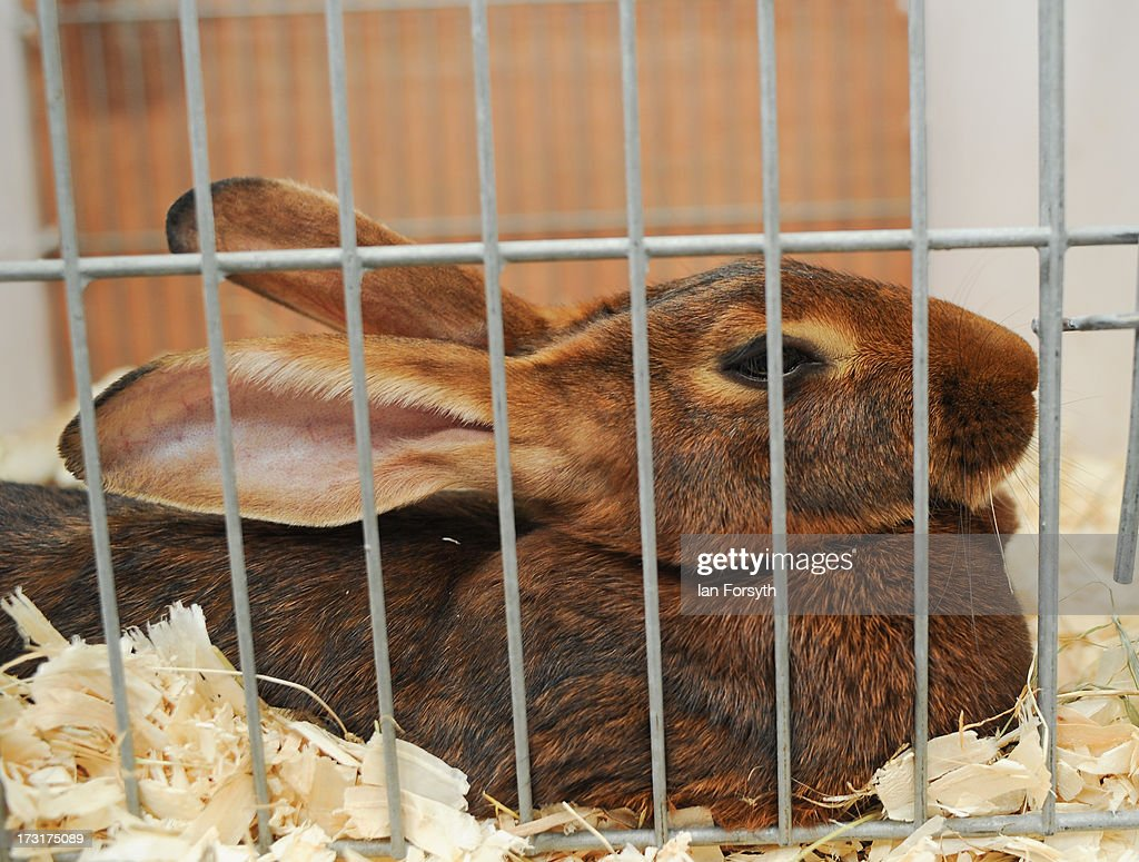 A prize wining Belgian Hare sits in its cage at the Great Yorkshire Show on July 9, 2013 in Harrogate, England. The Great Yorkshire Show is the UK's premier agricultural event and brings together agricultural displays, livestock events, farming demonstrations, food, dairy and produce stands as well as equestrian events to thousands of visitors over the three days.