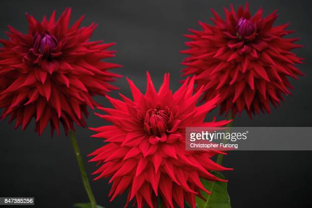 Prize winning Dahlias are displayed at the Harrogate Autumn Flower Show on September 15 2017 in Harrogate England Gardeners and horticulturalists...