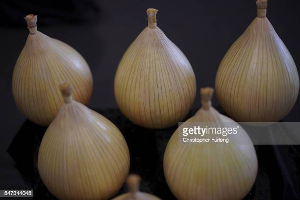 Prize winning onions are displayed at the Harrogate Autumn Flower Show on September 15 2017 in Harrogate England Gardeners and horticulturalists from...