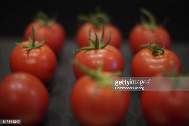 Prize winning tomatos are displayed at the Harrogate Autumn Flower Show on September 15 2017 in Harrogate England Gardeners and horticulturalists...