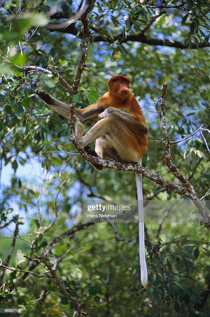 Proboscis monkey feeding in Mangrove tree : Stock Photo