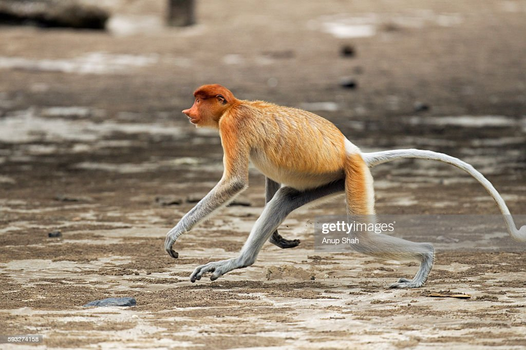 Proboscis monkey young male running across the beach at low tide