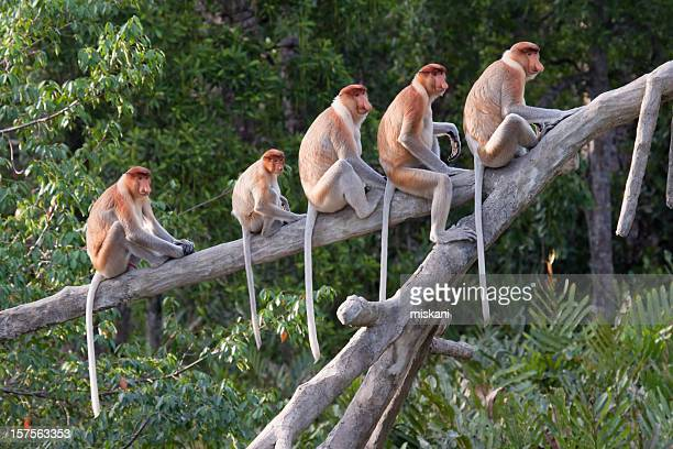 Proboscis monkeys in a row