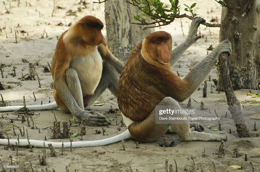 Proboscis monkeys ( Nasalis Larvatus) : Stock Photo