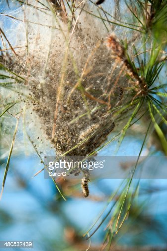 Processionary pest : Stock Photo