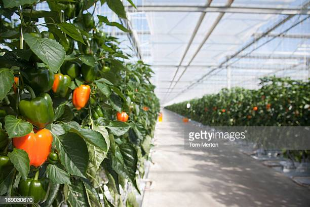 Produce growing in greenhouse