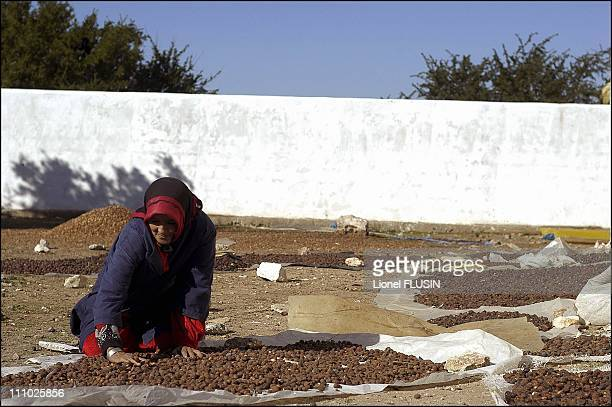 Production of argan oil in the Essaouira area of Morocco Argan tree fruit dryingt in Essaouira on January 17th 2005