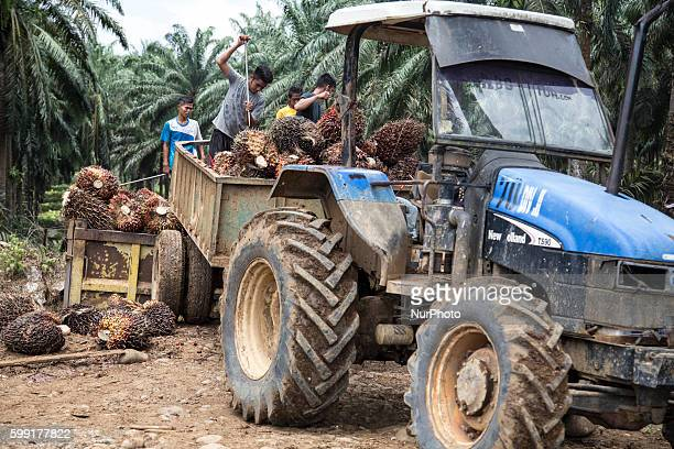 Production of Palmo Oil at one of PT Tidar Kerinci Agung site in West Sumatera Indonesia on 04 September 2016 Palm oil is a type of edible vegetable...