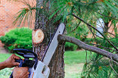 Professional is cutting trees using a chainsaw Cutting trees with saw