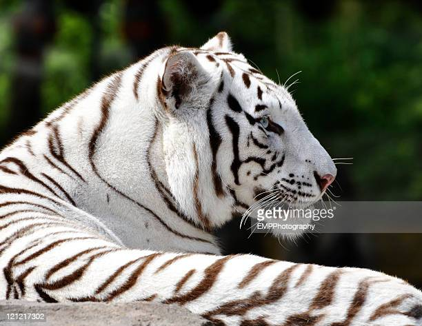 Profile of a Beautiful White Bengal Tiger