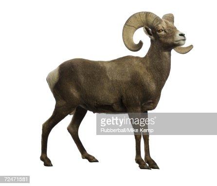 Profile of a ram