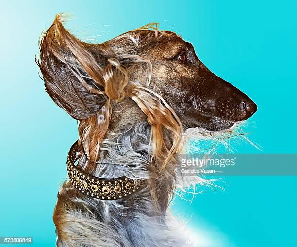 Profile of Afghan Dog on Blue