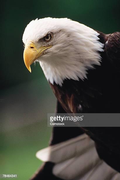 Profile of bald eagle