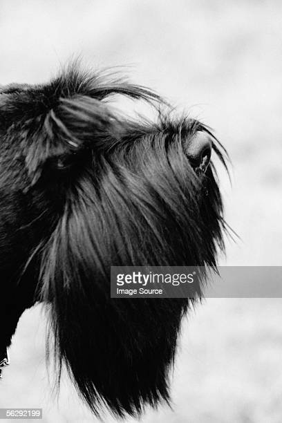 Profile of black terrier