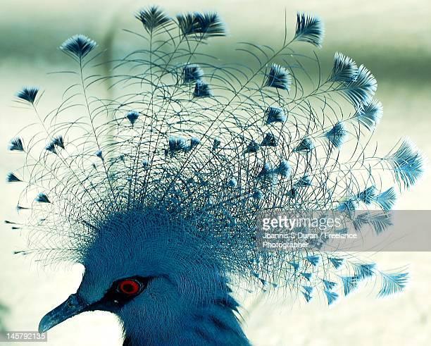 Profile of blue peacock's head.