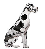 Profile of Great Dane Harlequin sitting and looking away.