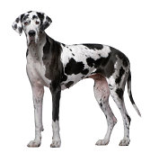 Great Dane, 5 Years old, standing in front of white background.