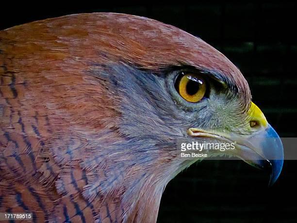 Profile (macro) of rare eagle in Panama