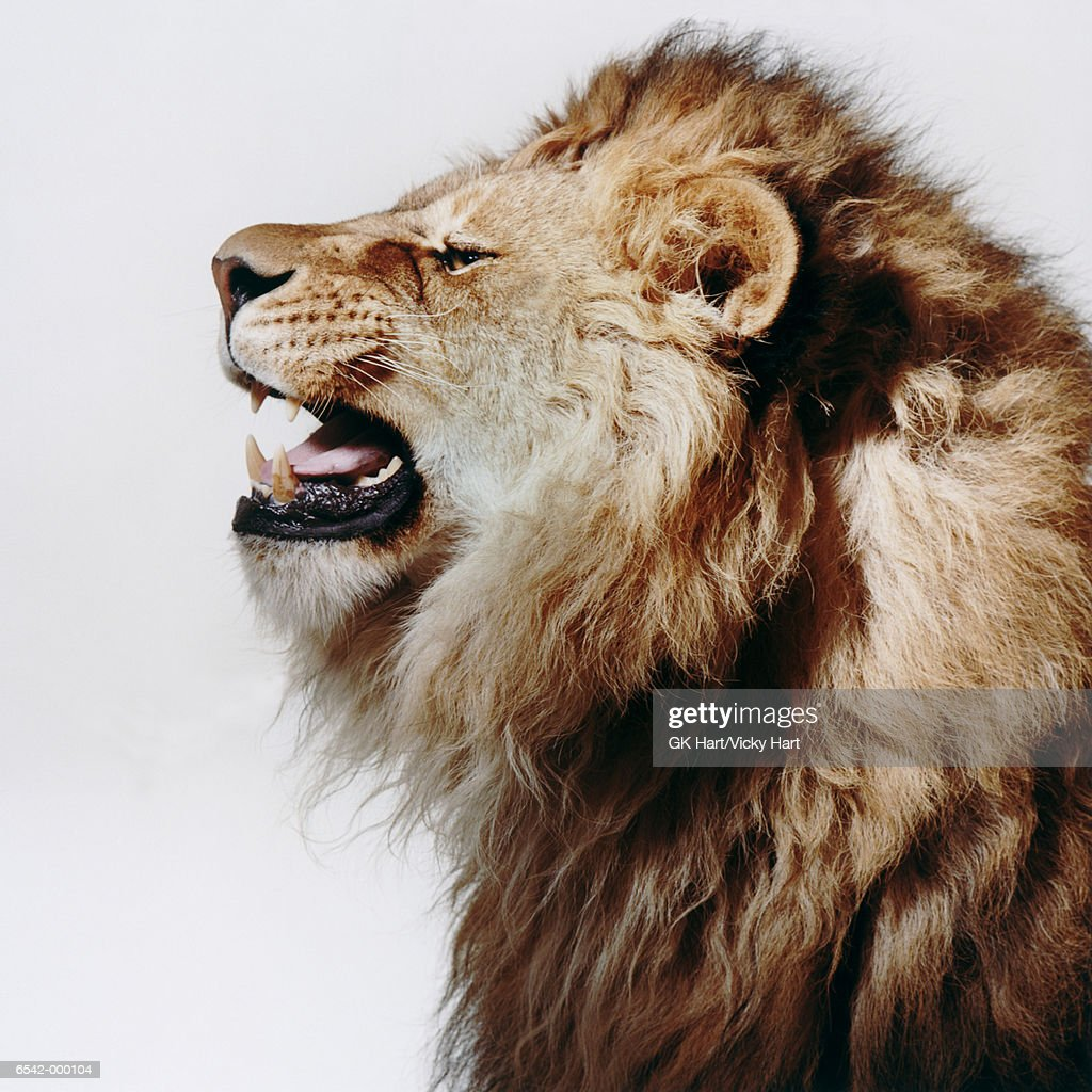 Profile of Roaring Lion : Stock Photo