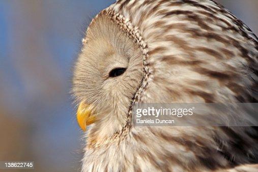 Profile of Ural owl