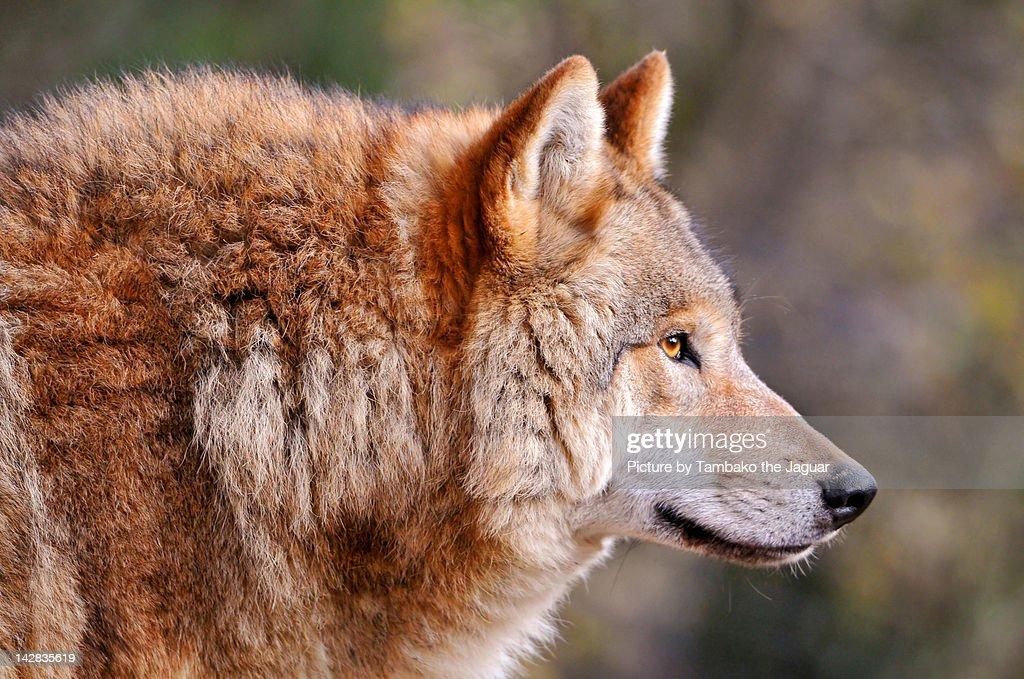 Profile of wolf : Stock Photo