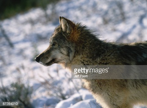 Profile Of Young Gray Wolf In Winter Canis Lupus Stock Photo | Getty ...